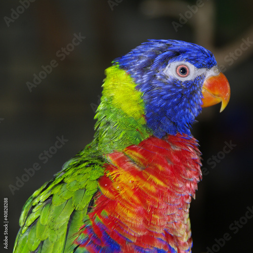 Portrait of a Rainbow Lorikeet