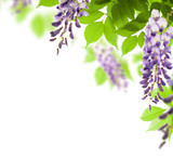 Fototapety green leaves and flowers of wisteria background