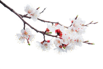 apricot-tree flowers isolated on white background