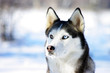 close-up portrait of Chukchi husky breed dog on winter backgroun