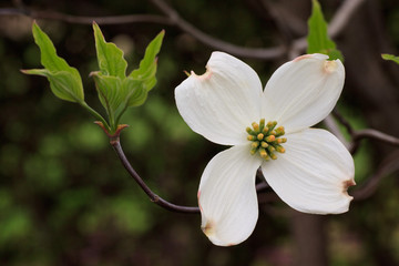 fiore di Cornus Florida (Flowering Dogwood)