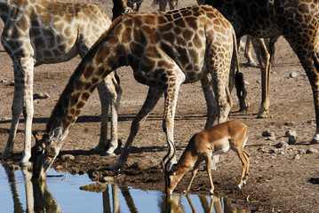 Impala beim Wasser trinken