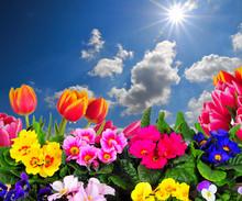 Wiosenne kwiaty, tulipany Sky