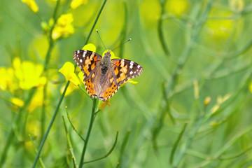 Schmetterling auf der Sommerwiese