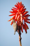 Palestine Sunbird (Nectarinia osea) female on aloe vera