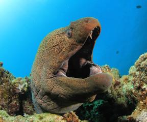 Giant Moray Eel (Gymnothorax javanicus)