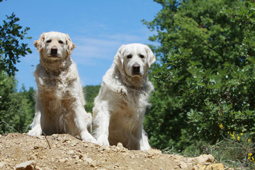 couple de golden retrievers assis de face