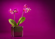 mini orchid on pink background
