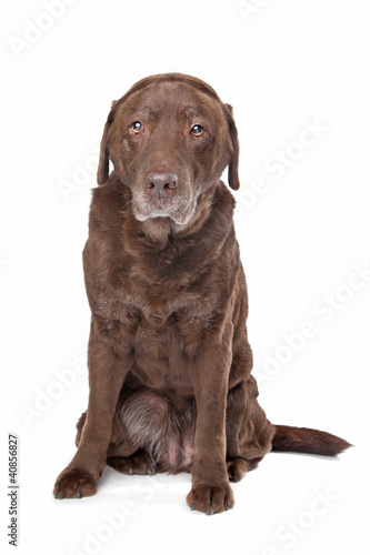 Old sad chocolate Labrador