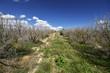vertrocknete Zitronenbaumplantage