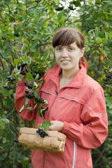 woman picking chokeberry