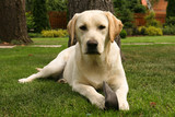 Yellow labrador retriever on green grass lawn - Fine Art prints
