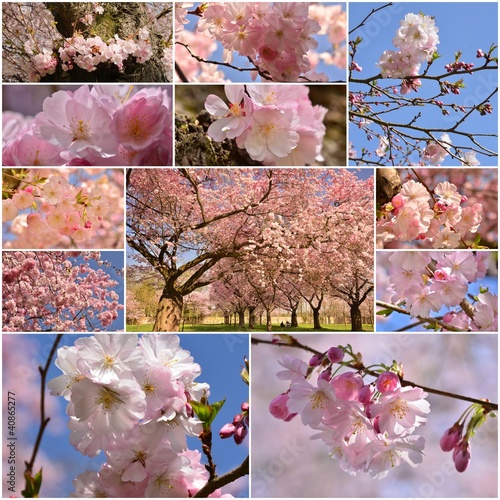 Collage with pictures of Japanese cherry blossoms