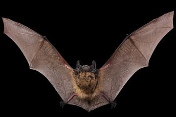 Bat fly