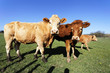 cow familly with blue sky