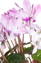 Cyclamen on White Background
