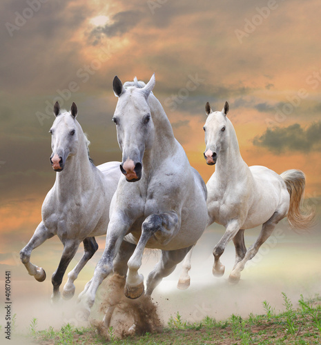 white horses in dust © Mari_art