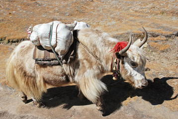 Yak carrying goods to Nepali villages