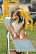 chien d'agility