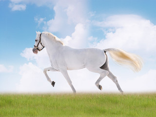 white horse in summer field