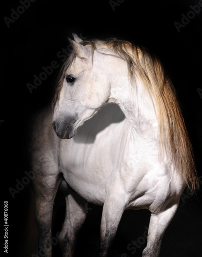 white andalusian horse on black