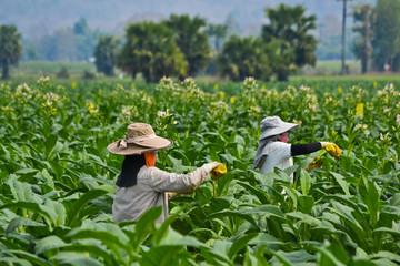 Tobacco Garden Of Thailand