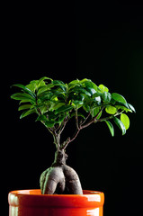 Bonsai tree in a flower pot, over black background