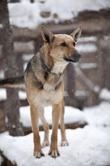 Shepherd dog under the snow in dog shelter.