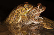 Mating guttural toads in water with reflection