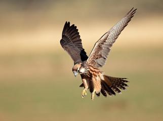 Lanner falcon landing