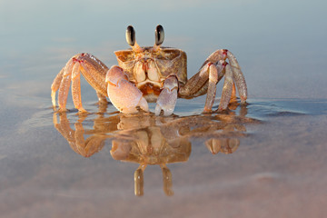 Alert ghost crab (Ocypode ryderi) on the beach