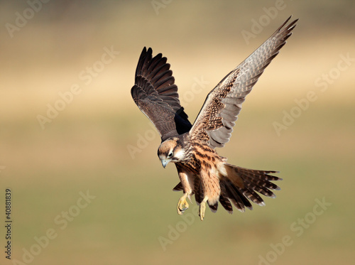 Fotobehang Vogel Lanner falcon landing