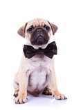 cute mops puppy dog with neck bow
