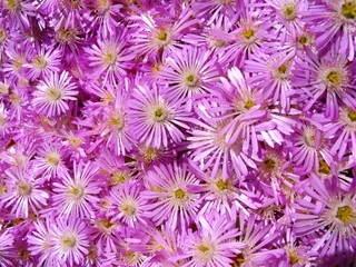 Group of wonderful purple flowers