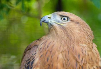 Portrait of Long-legged Buzzard in Yalta zoo.