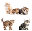 set of British Shorthair kittens