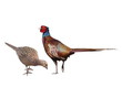 Common Pheasant female and male,  isolated on white
