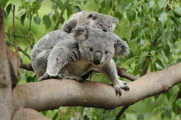 Koala mom baby