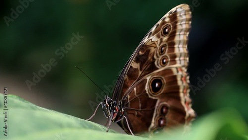 Tropical butterfly (morpho) stretching its proboscis