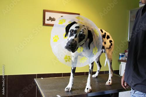 chien dalmatien rigolo avec sa collerette