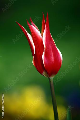 piekny-tulipan