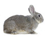 Image of cute grey rabbit