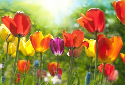 Spring tulips - 40906601