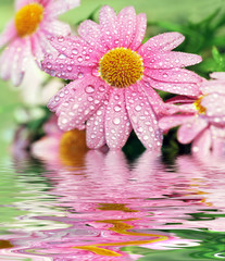 Marguerite reflecting in water