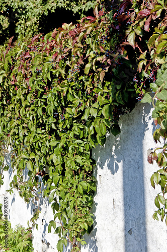 red virginia creeper