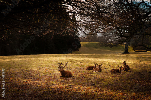 Herd of red deer