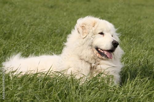 Foto op Canvas Ijsbeer Pyrenäenberghund liegend