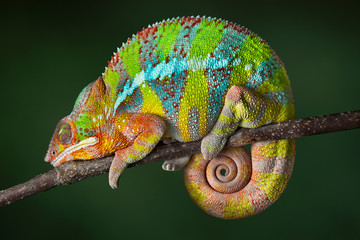 Sleeping Chameleon