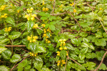 Flowering Yellow Archangel