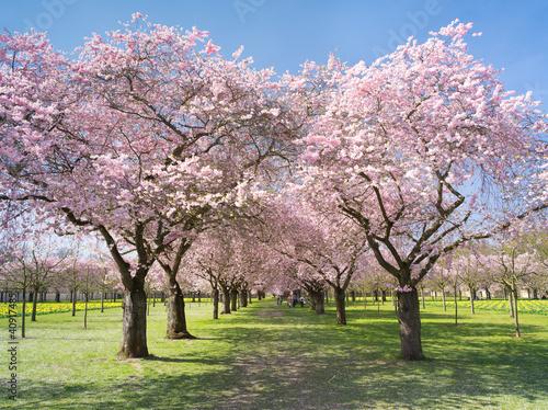 Garten mit rosa Kirschblüten